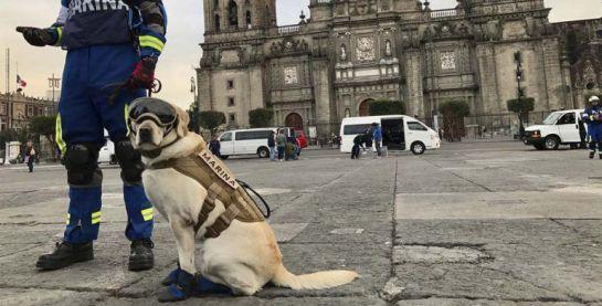 Frida perrita rescatista: Heroína de 4 patas