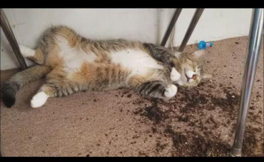 Gatos ingieren marihuana de su dueño y así reaccionaron
