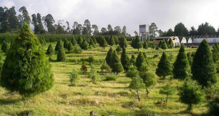 Árboles de Navidad: ¿Dónde rentar un árbol de Navidad?