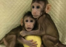 Polémica clonación de monos en China