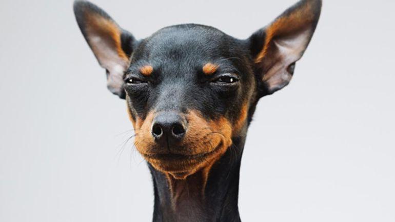 United Airlines prohíbe la entrada a 40 razas de perros: Conoce las razas de perros que fueron prohibidas por una aerolínea