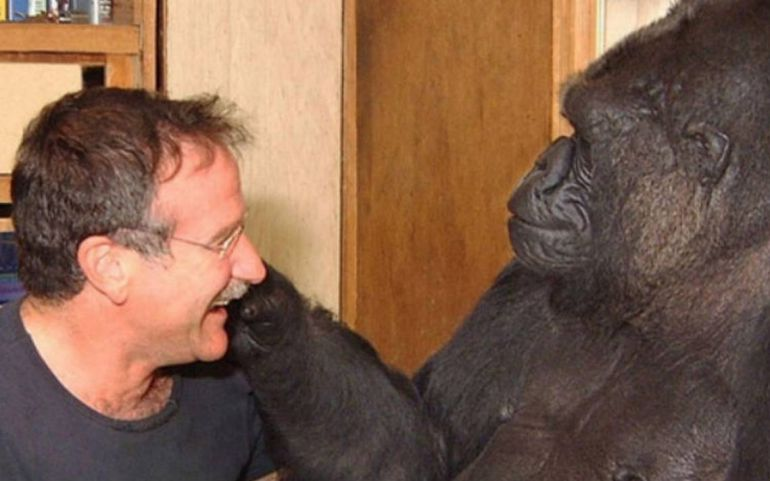 Muere gorila Koko: Muere la gorila Koko, dominaba lenguaje de señas y se comunicaba con humanos