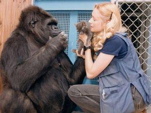 Gorila KOKO muere