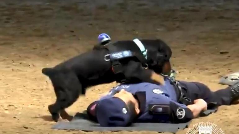 Perro policiía realiza reanimación cardiopulmonar: Perrito realiza reanimación cardiopulmorar a policía