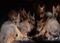 Nace la camada más grande de lobos en la CDMX