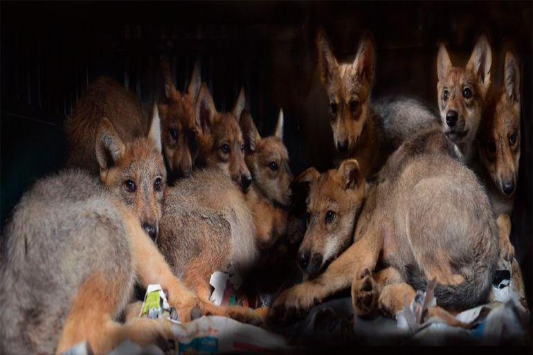 Nace la camada más grande de lobos en la CDMX: Nace la camada más grande de lobos en la CDMX