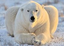 Oso polar asesina a hombre que cuidaba a sus hijas