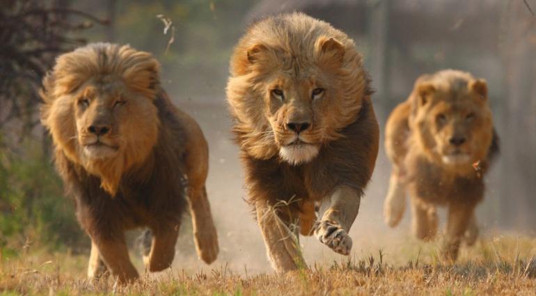 Leones devoran a cazadores de rinocerontes: Leones devoran a cazadores en Sudáfrica