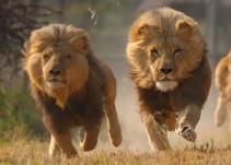Leones devoran a cazadores en Sudáfrica