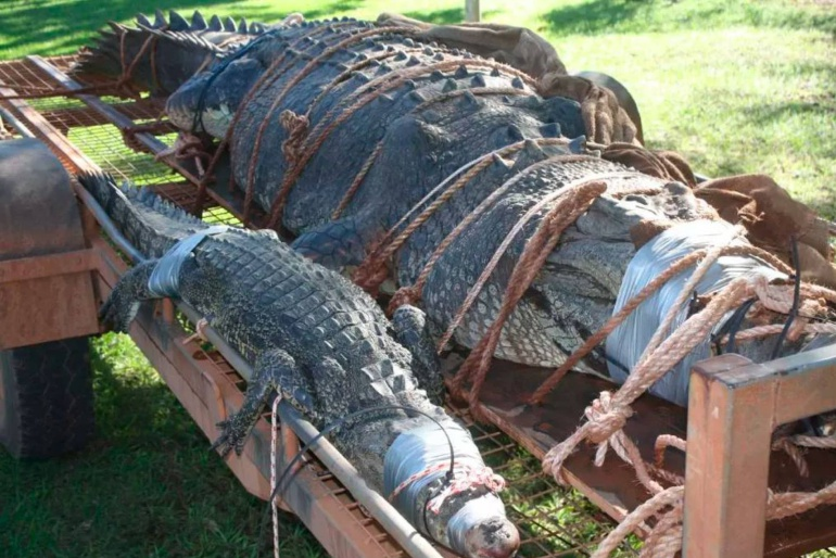 Capturan cocodrilo gigante en Australia