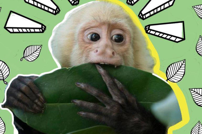 Mono capuchino vivirá en el Zoológico de Chapultepec: Mono capuchino cambia Las Lomas de Chapultepec por el zoológico