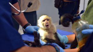 Mono capuchino cambia las Lomas de Chapultepec por el zoológico