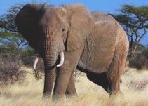 Elefante provoca la muerte a niño en Uganda