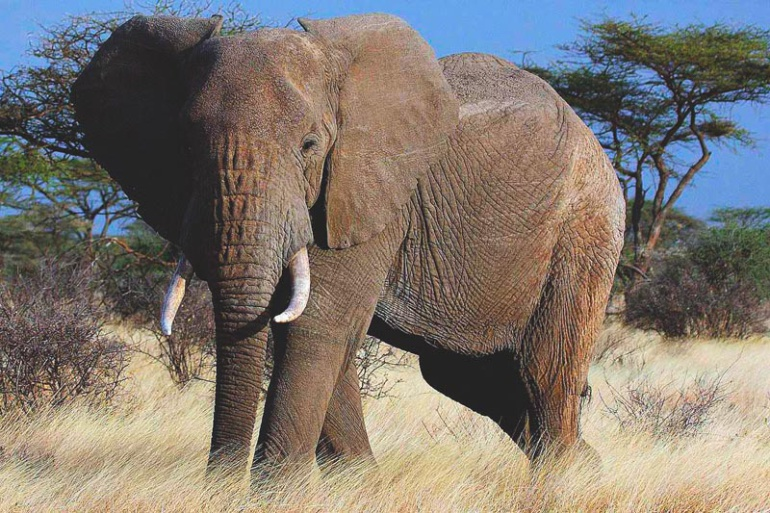 Elefante mata a niño en Uganda: Elefante provoca la muerte a niño en Uganda