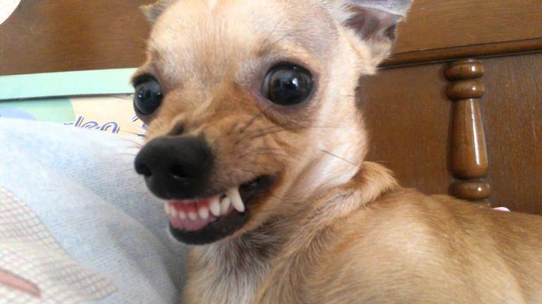 Sondeo: Perros chihuahua son más violentos