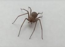 Araña violinista podría ocasionar amputación de pie a menor