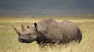 Rinoceronte negro extinción