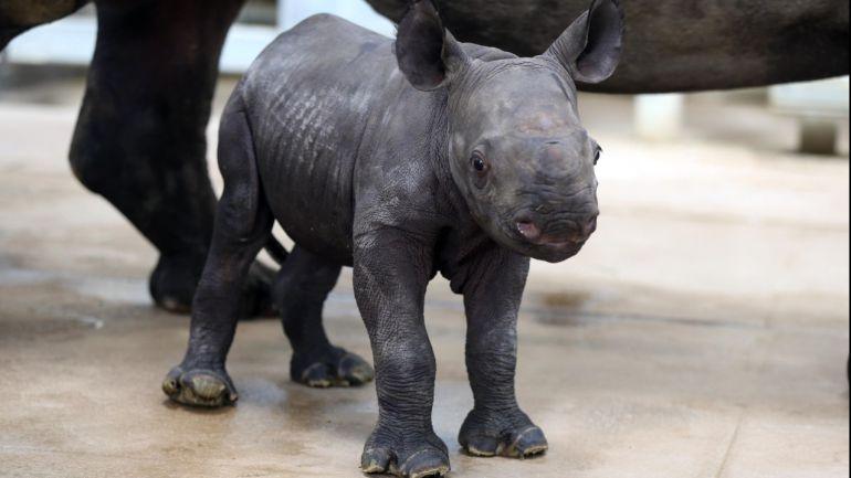 Muere el décimo Rinoceronte negro en peligro de extinción