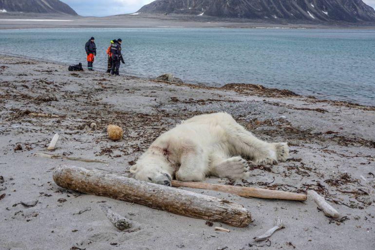 matan a Oso Polar: Matan a Oso Polar por defender su territorio