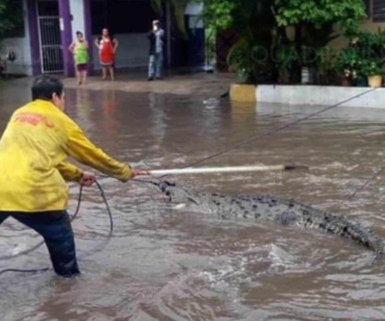 Cocodrilos aparecen en las calles inundadas de Michoacán