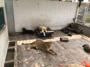 Tres leones viven en la azotea de una casa en Iztacalco