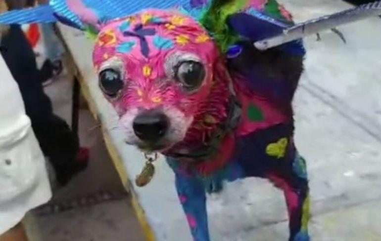 Perro chihuahua sufre maltrato animal: Perrito con disfraz de alebrije desata polémica