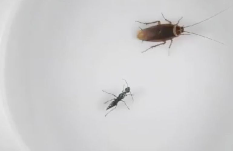 Avispa ataca a cucaracha: VIDEO: Cucaracha pelea para no convertirse en zombie