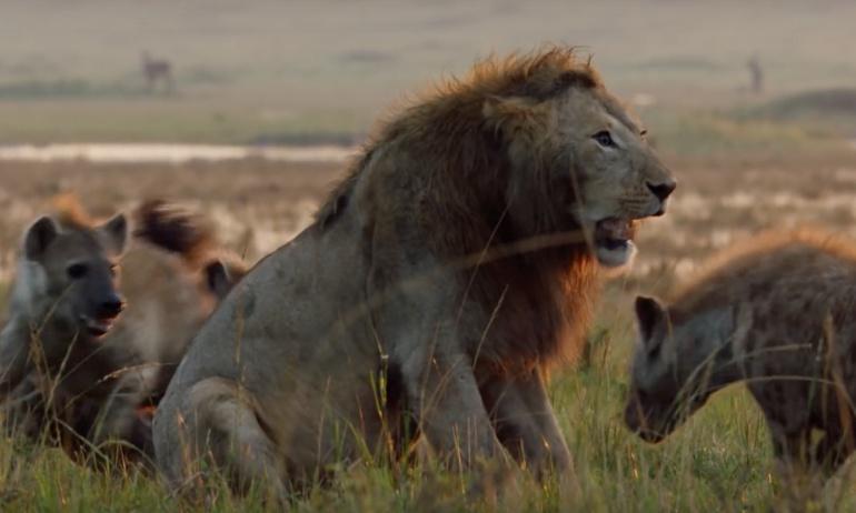 León agradece a su amigo que lo defendió del ataque de 20 hienas