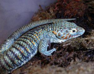 """[Video] """"Dragoncito azul"""", otra especie mexicana en peligro de extinción"""