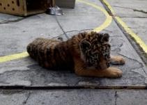 Rescatan a pequeña tigresa de un restaurante en la Ciudad de México