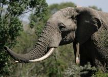 Increíble: elefantes están evolucionando para salvarse de la caza furtiva