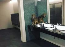 Coyote irrumpe en centro de convenciones y termina asustado en el baño