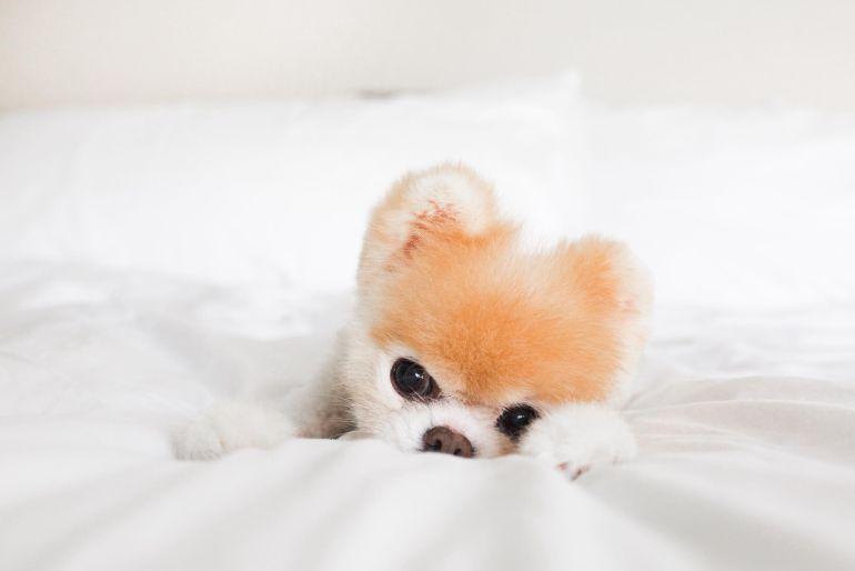 Hasta pronto Boo, el perrito más bonito del mundo pasa a mejor vida