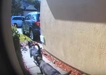 Así salvaron la vida de su dueña estos dos perritos