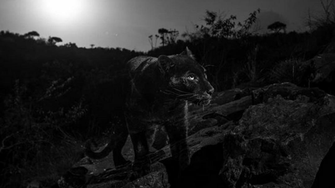 Captan a leopardo extremadamente raro por primera vez en 100 años