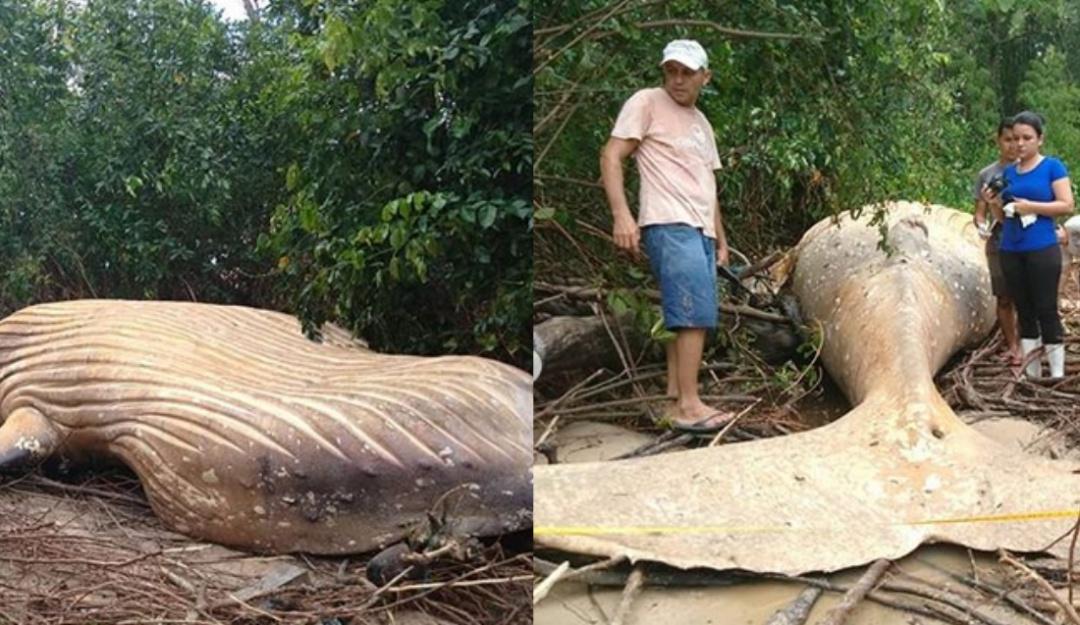 Misterio en el Amazonas: encuentran ballena en medio de la selva
