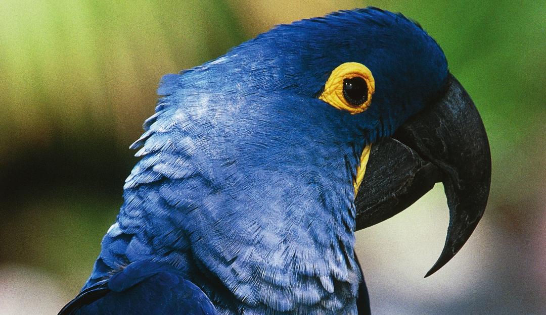 Vuelven las esperanzas: nace guacamayo azul, especie declarada extinta