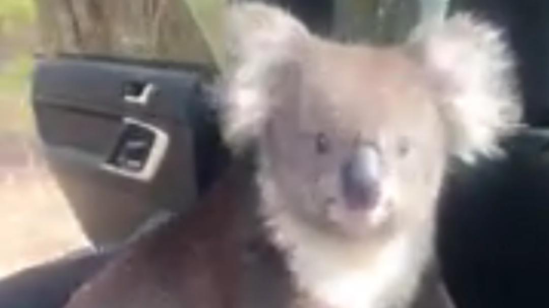 Dejó su auto con las ventanas abiertas y encontró un koala al regresar