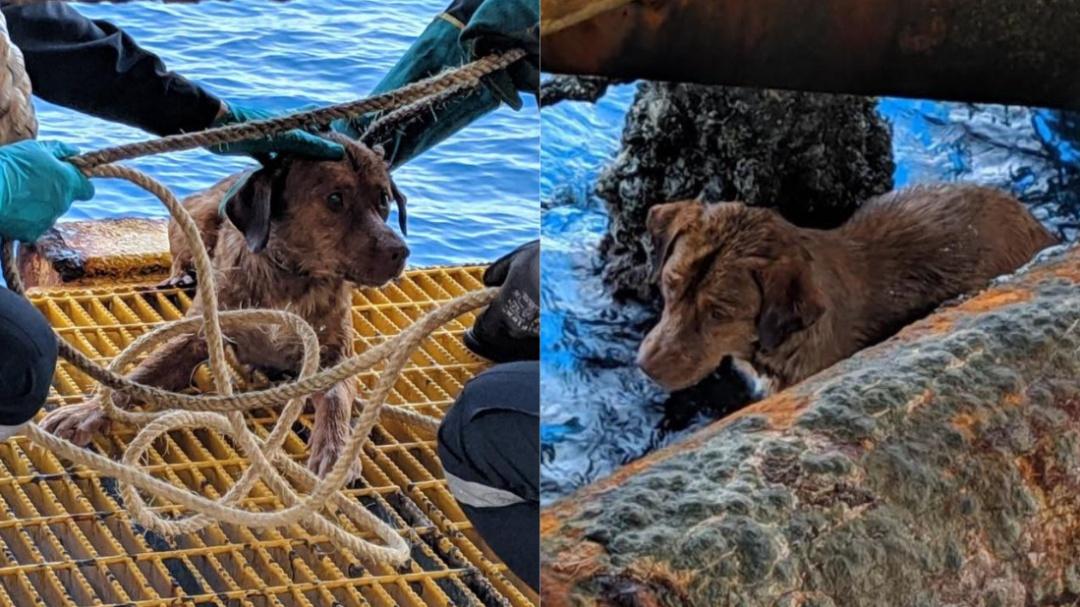 Perrito nadó más de 200 kilómetros para refugiarse en plataforma petrolera