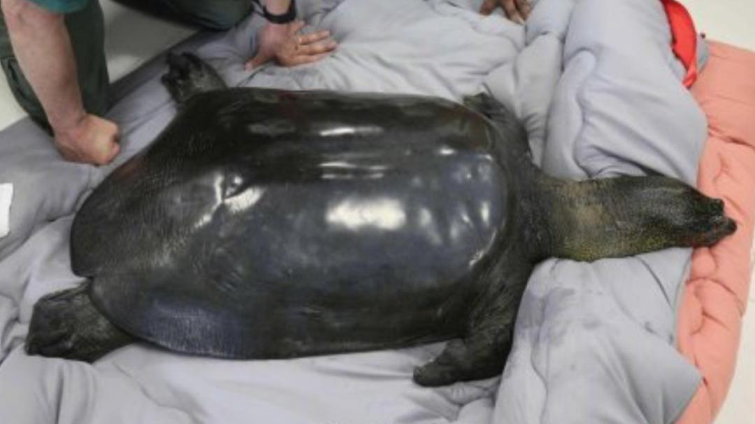 Hemos perdido a la última tortuga hembra de caparazón blando