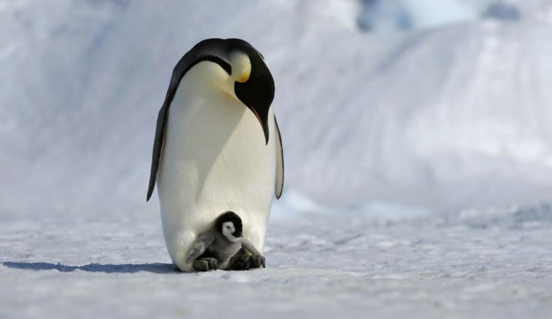 En la Antártida miles de pingüinos bebé pierden la vida por el deshielo