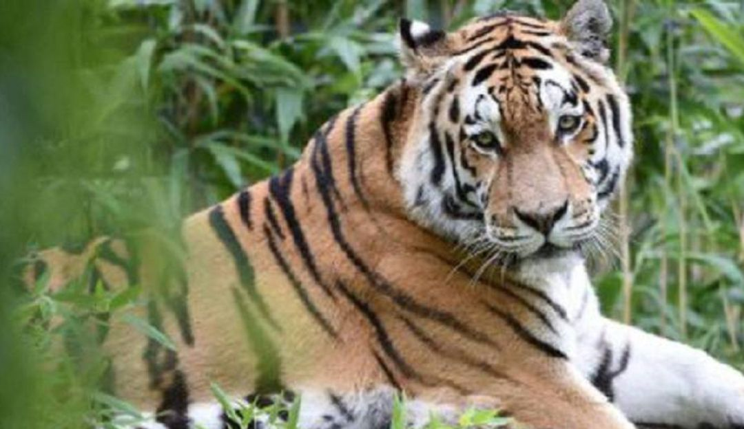 Ni una raya menos: Tigre de bengala en peligro de extinción