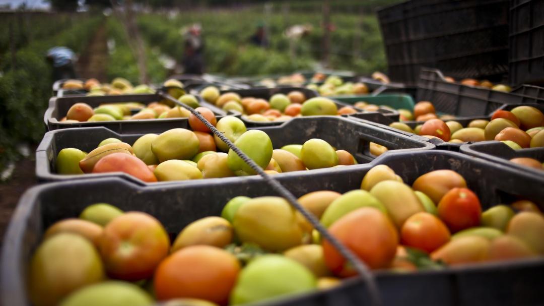 La Sader respalda a productores mexicanos de tomate
