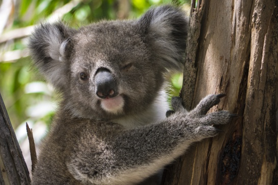 "Koalas ""funcionalmente"" extintos según la ONG: Australian Koala Foundation."