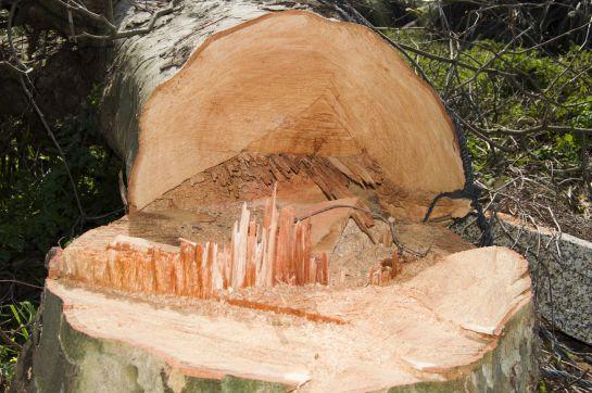 Ampliación de línea 5 del metrobús provocará la tala de 507 árboles - CDMX entre ellos se encuentran 91 fresnos, 62 jacarandas, 55 eucaliptos y 43 causarinas.