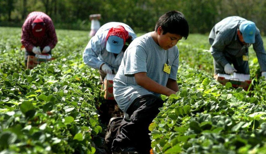 Mantienen vigilancia para evitar que menores trabajen en el campo