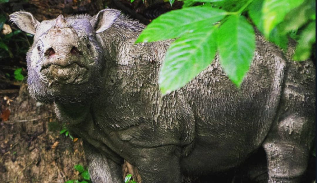 Hemos perdido a Tam el último rinoceronte macho de Sumatra en Malasia