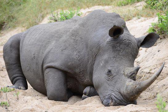 Murió Tam el último rinoceronte macho de Sumatra en Malasia