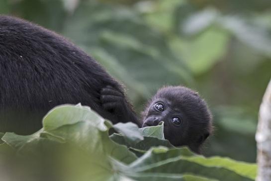 Pierden la vida monos aulladores por sequía