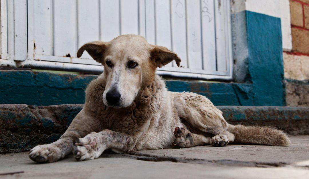 Gobierno tapatío descarta sacrificio para control de perros callejeros